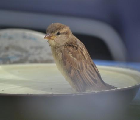 sparrowbath8